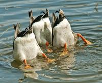 Ducks upside down