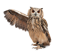 An owl_ holding out its wing