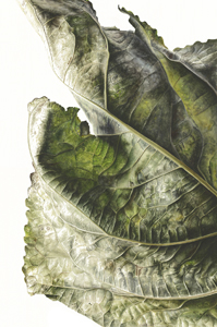 Populus x canadensis, Watercolour on paper, 76 x 56cm