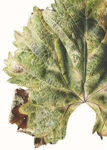 Vitis vinifera, Watercolour on paper, 76 x 56 cm