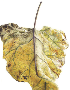 Catalpa bignonioides, Watercolour on paper, 56 x 76 cm
