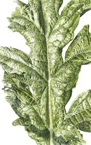 Cynara cardunculus var. scolymus, Watercolour on paper, 76 x 56 cm